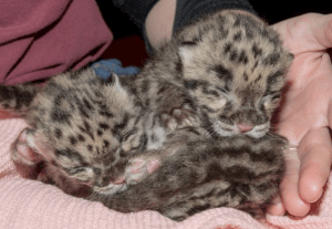 Clouded leopard cubs 29 Feb Tampa