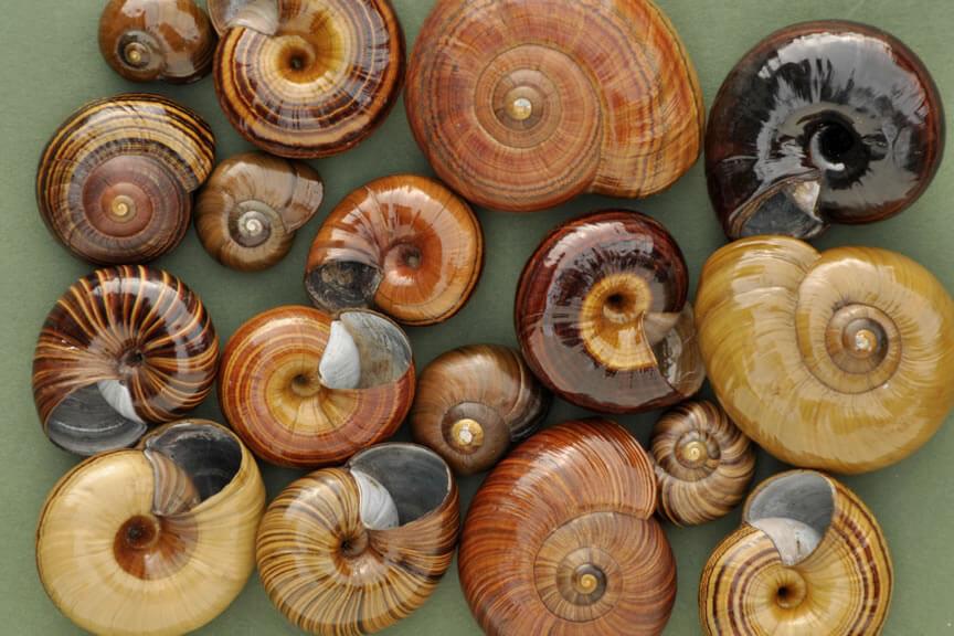 Powelliphanta shells